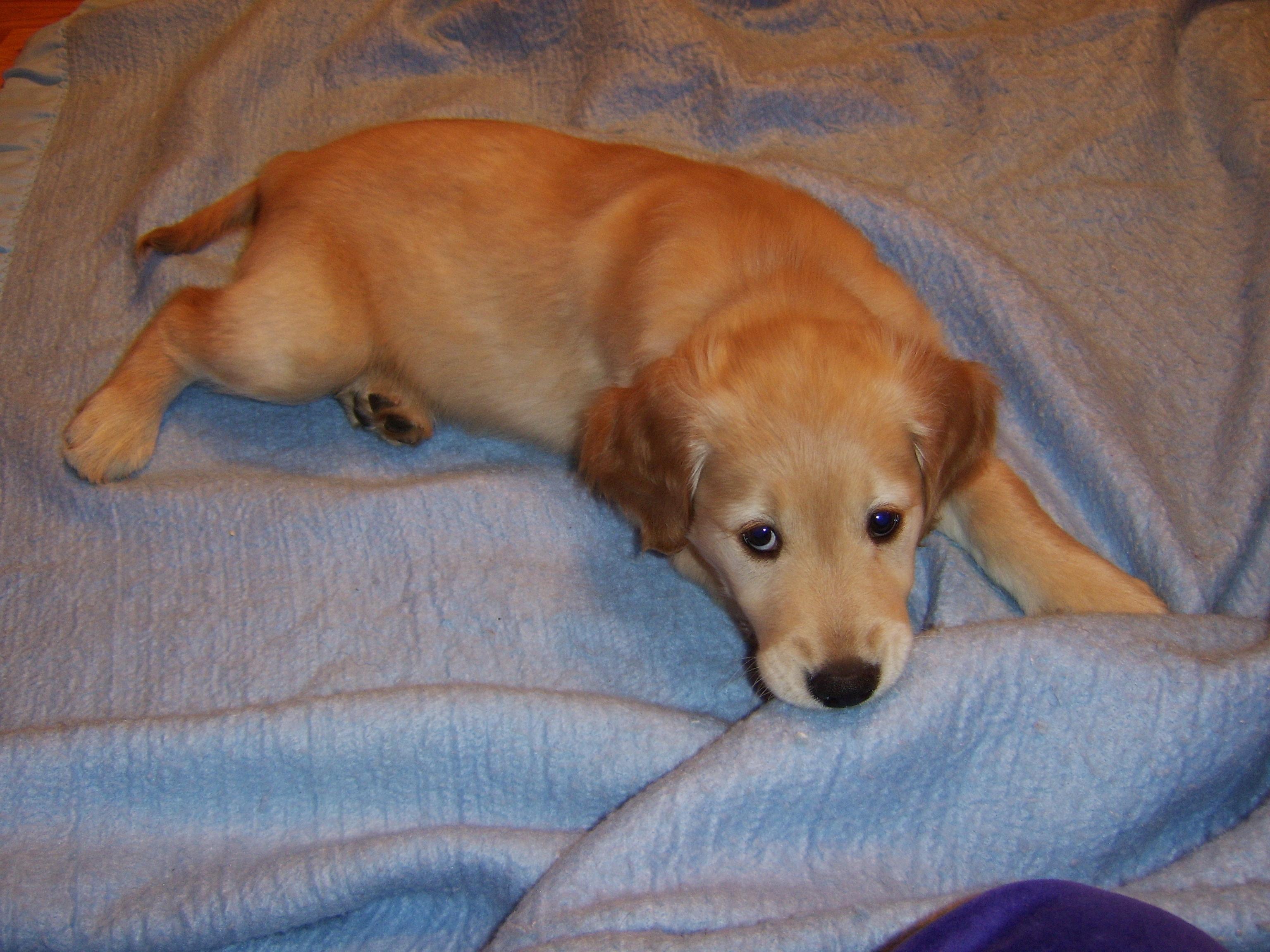 Resting Pup on Blanket - Joy's Pics of Puppy